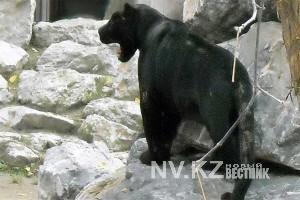 Пантера из Новосибирска