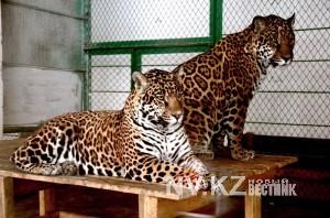 Ягуары, растерзавшие медвежонка