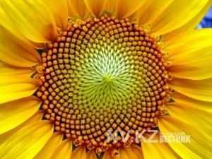 """Спиральное расположение семечек воспроизводит принцип """"божественной пропорции"""""""
