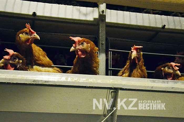 курицы караганды фото